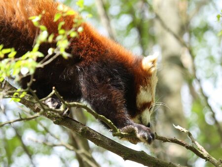 Photograph of a red panda Stock Photo - 3074127