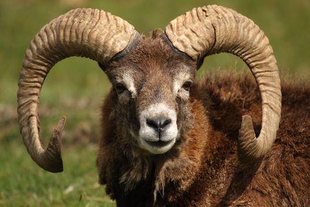 Head shot van een Moeflonwild - wilde schapen Stockfoto