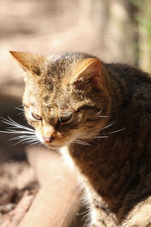 felid: Scottish Wild Cat, Wildcat, Felis sylvestris grampia