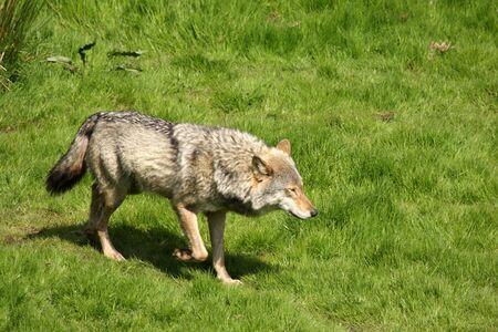 EUROPEAN GREY WOLF - Canis lupus lupus Stock Photo - 3074396