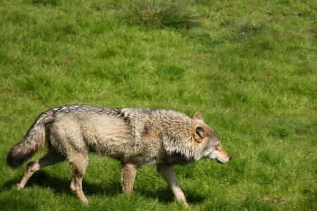 lupus: EUROPEAN GREY WOLF - Canis lupus lupus Stock Photo