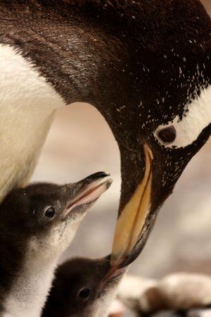 gentoo: Photograph of a Gentoo Penguin chick