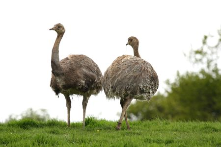 rhea: Two Darwins Rhea on top of a hill