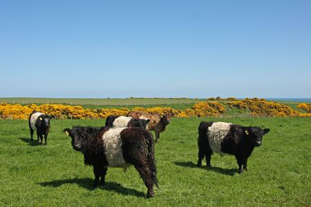 Black and White Belted Galloway Cows Stock Photo