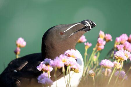 Razorbill at Fowlsheugh Bird Reserve, Aberdeen