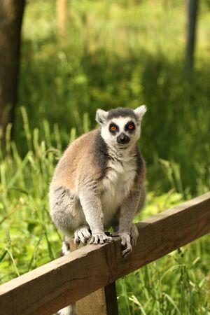 photo of Ring Tail Lemurs on Safari photo