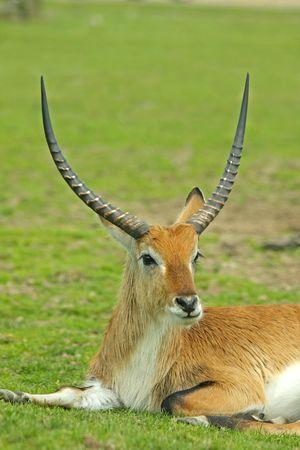grazer: Male antelope with impressive horns