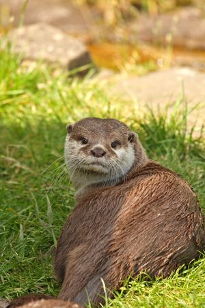 clawed: Photo of a Asian Short Clawed Otter