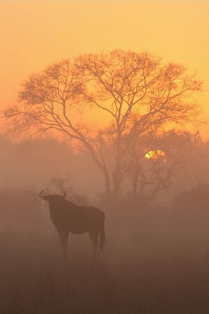 Misty sunrise in Sabi Sands, with Wildebeest and acacia tree photo