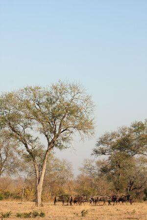 Photo of the migration of wildebeest photo