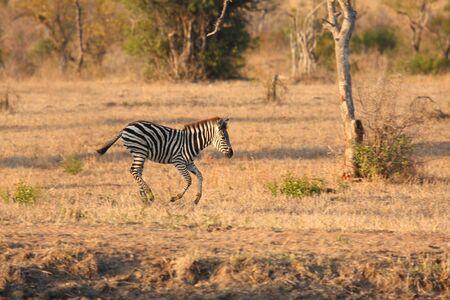 sabi sands: Zebra in Sabi Sands Reserve, South Africa Stock Photo