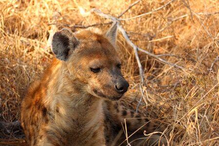 sabi sands: Hyena in Sabi Sands Reserve