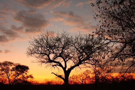 acacia tree: Sunset in Sabi Sand reserve, South Africa Stock Photo