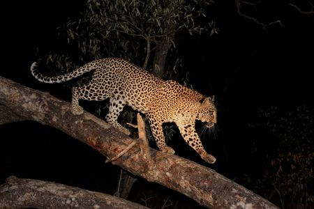 Leopard in a tree in the Sabi Sands Reserve Stock Photo - 3219319