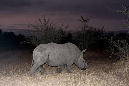 ponderous: Photo of a Black Rhino at night in Sabi Sands Stock Photo