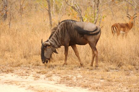Photo of blue wildebeest taken in Sabi Sands Reserve in South Africa photo