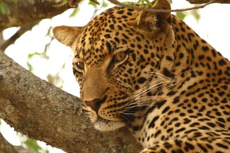 Leopard in a tree in the Sabi Sands Reserve Stock Photo - 3254853