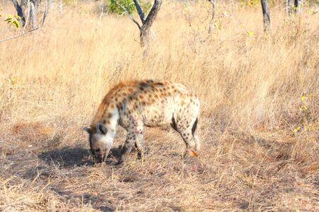 scavenge: Hyena in Sabi Sands Reserve