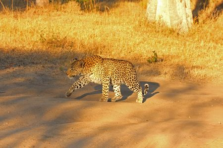 Leopard in the Sabi Sands Reserve photo