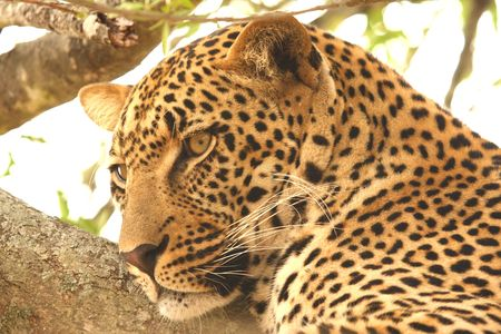 Leopard in a tree in the Sabi Sands Reserve Stock Photo - 3265970