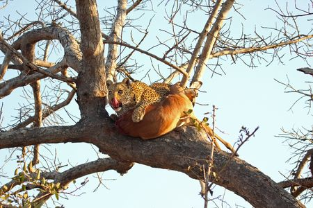 sabi sands: Leopard in a tree with kill in Sabi Sands Reserve