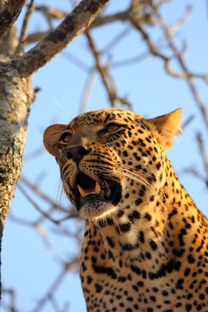 Leopard in a tree in the Sabi Sands Reserve Stock Photo - 3279019