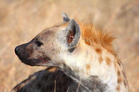 nocturnal: Hyena in Sabi Sands Reserve