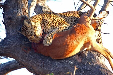 Leopard in a tree with kill in Sabi Sands Reserve