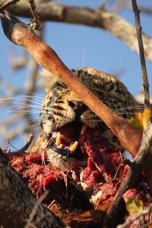 Leopard in a tree with kill in Sabi Sands Reserve photo