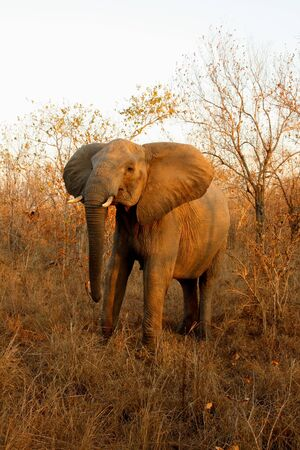 Elephant in the Sabi Sand Reserve photo