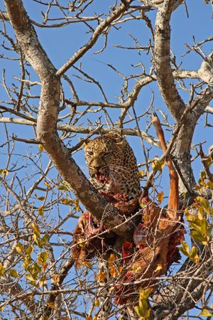 Leopard in a tree with kill in Sabi Sands Reserve Stock Photo - 3288745