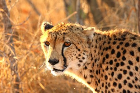 Photo of a Cheetah in the Sabi Sands Reserve photo