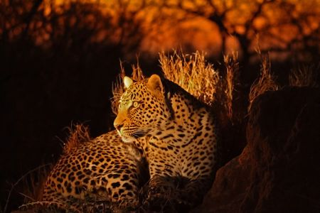 Leopard in the Sabi Sands Reserve Stock Photo