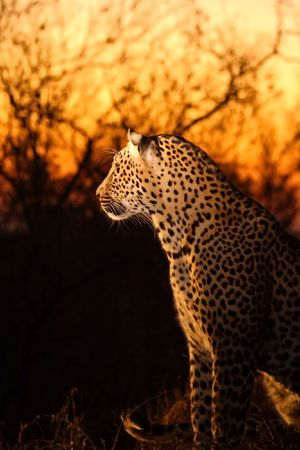 sabi: Leopard in the Sabi Sands Reserve Stock Photo