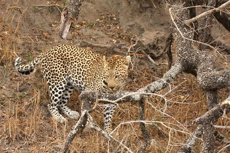 Leopard in a tree in the Sabi Sands Reserve Stock Photo - 3288847