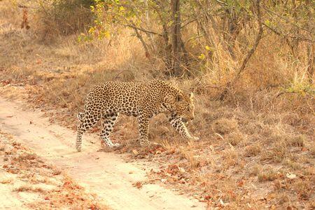 sabi sands: Leopard in the Sabi Sands Reserve Stock Photo