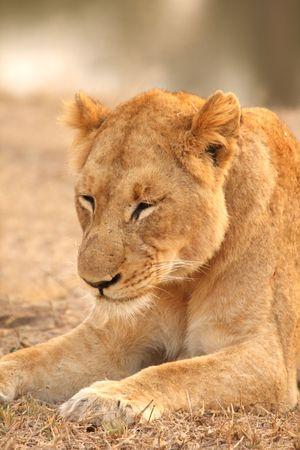 sabi sands: Lioness in Sabi Sands Reserve, South Africa