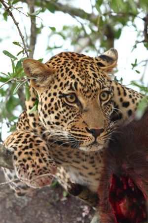 Leopard in a tree with kill in Sabi Sands Reserve Stock Photo - 3288383