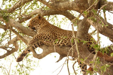 Leopard in a tree in the Sabi Sands Reserve photo