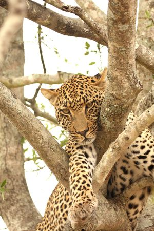 Leopard in a tree in the Sabi Sands Reserve Stock Photo - 3288707