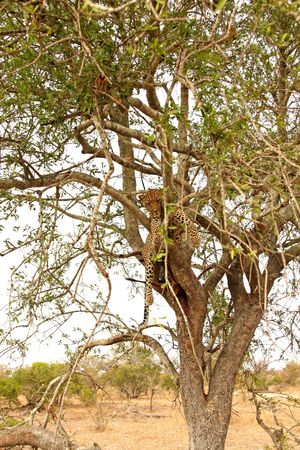 Leopard in a tree with kill in Sabi Sands Reserve Stock Photo - 3288840