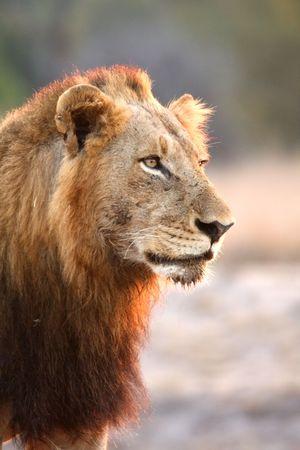 sabi sands: Lion in Sabi Sands Reserve, South Africa