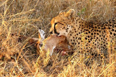 Photo of a Cheetah with a dead impala photo