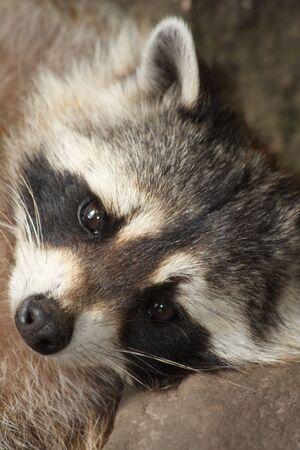 photo of a raccoon Reklamní fotografie