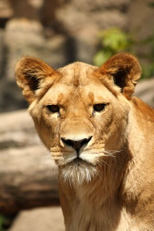 Lioness in Sabi Sands Reserve, South Africa photo