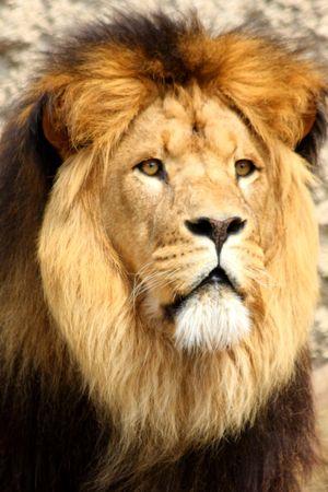 big five: Lion in Sabi Sands riserva, Sud Africa Archivio Fotografico