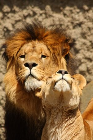 Photo of a Lion and Lioness Stock Photo - 3290923