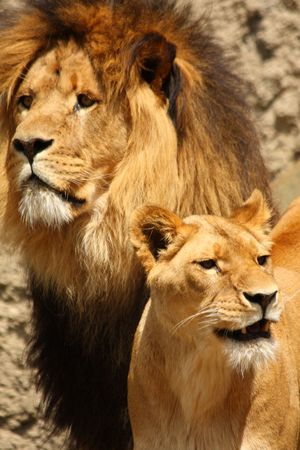 lioness: Photo of a Lion and Lioness