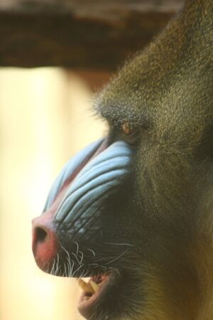 mandrill: photo of a male mandrill baboon