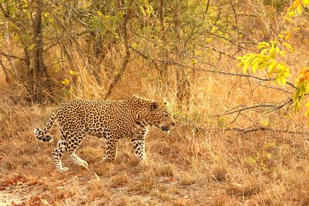Leopard in the Sabi Sands Reserve Stock Photo - 3327947